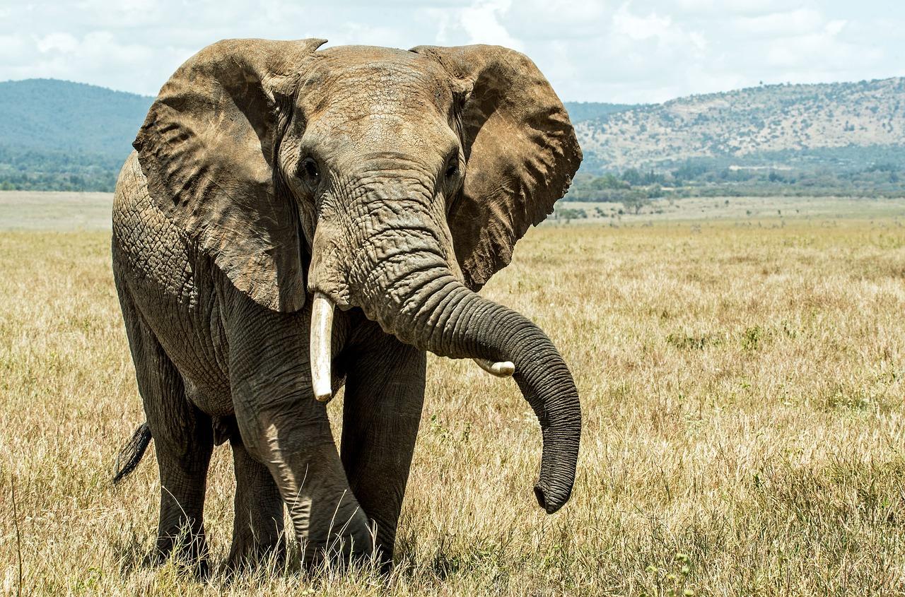 elephant-20181016-1