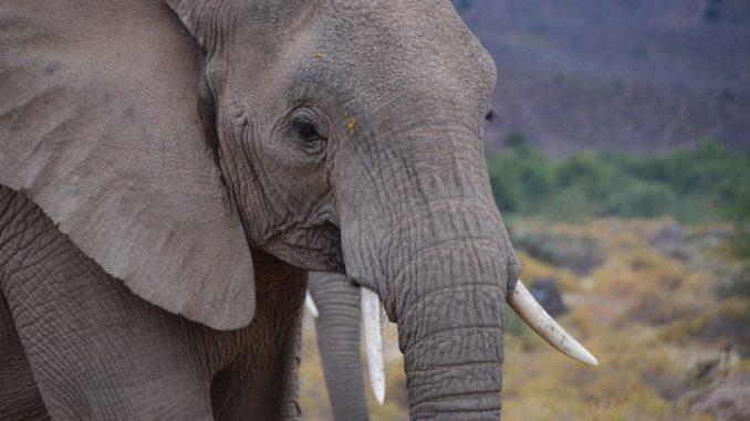 elephant-20190108-2